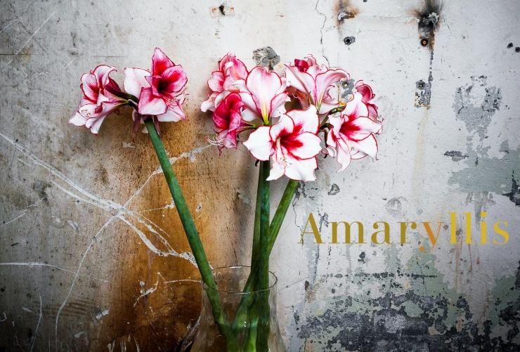 Amaryllis Flower (1)