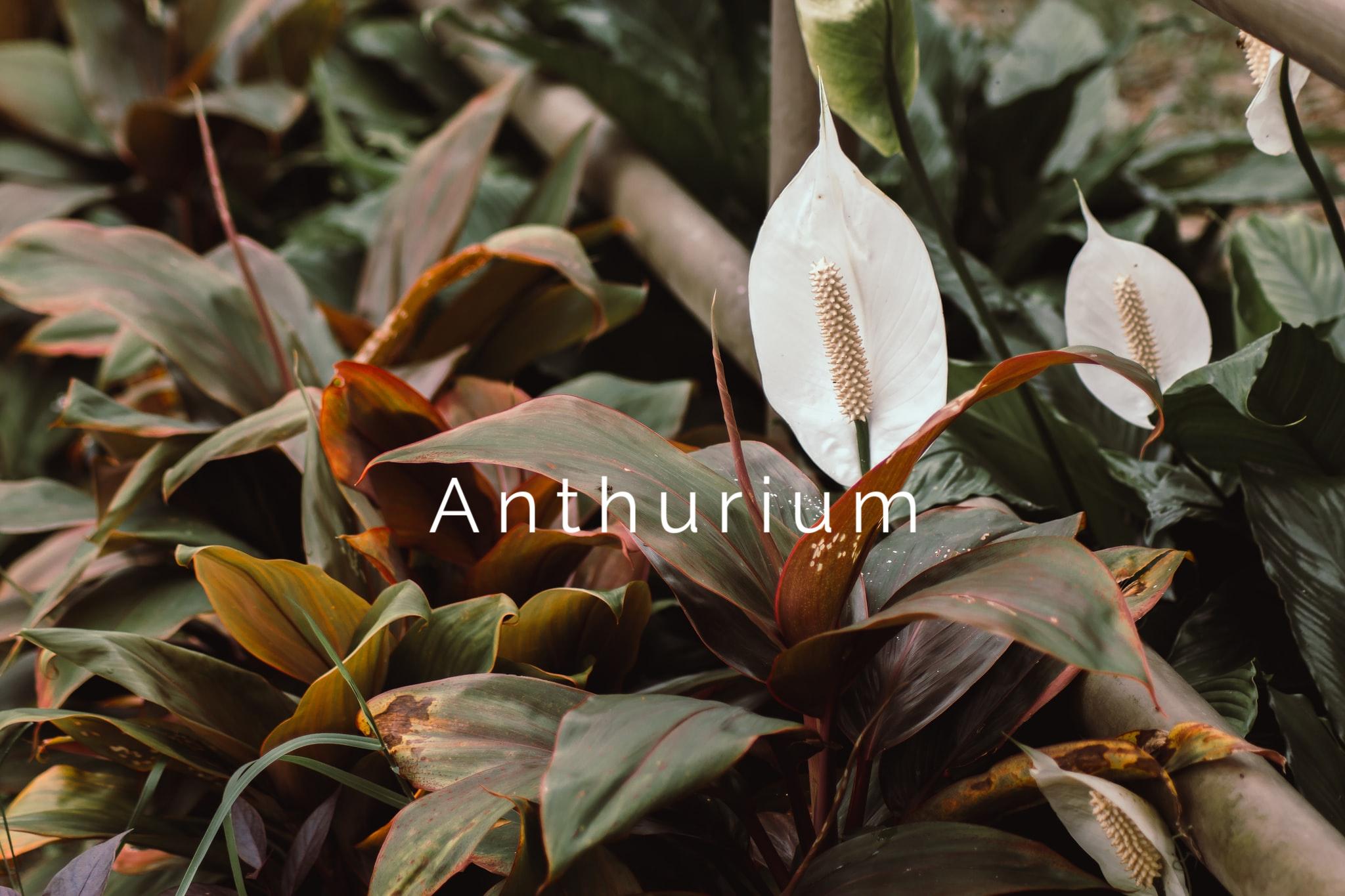 Anthurium Flower (1)