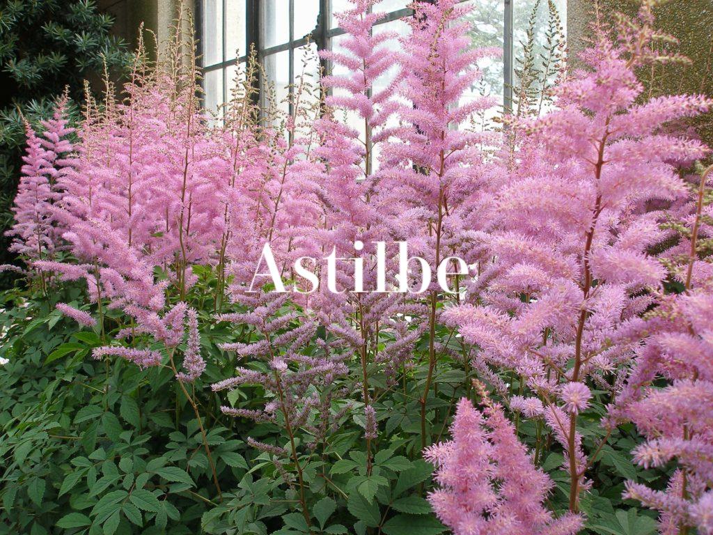 Astilbe_flower (1)