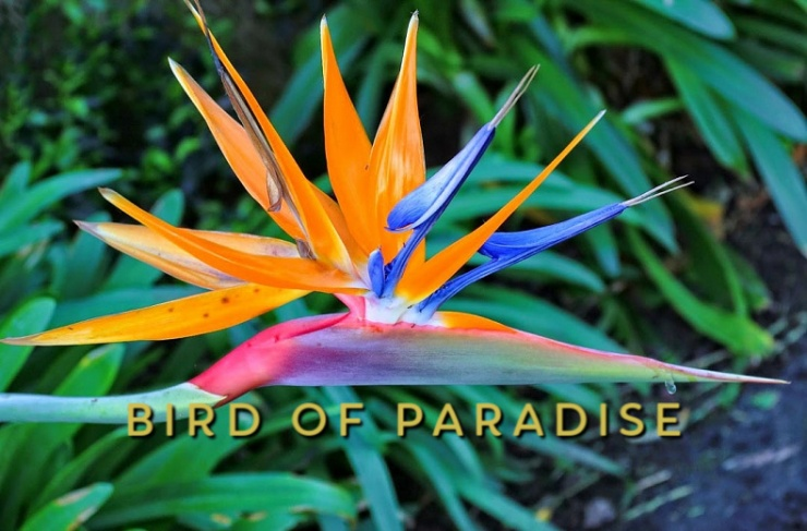 Bird of paradise (Strelitzia reginae), (1)