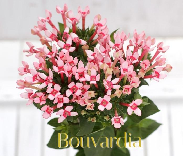 Bouvardia-Pink (1)