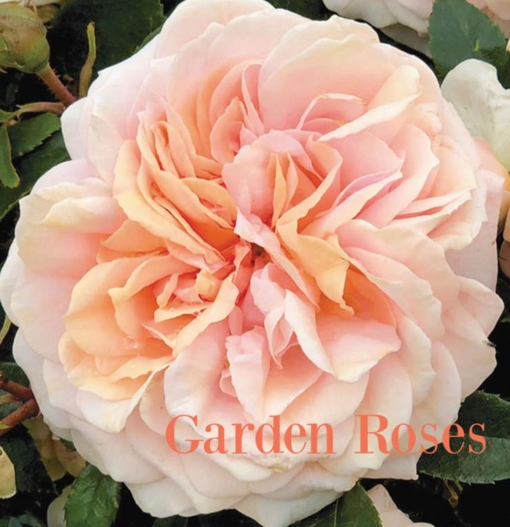 Garden Rose (2)