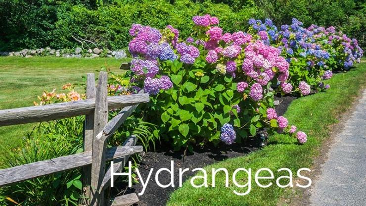 hydrangeas (1)