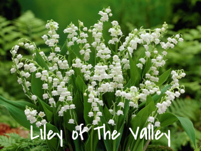 Liley of The Valley (2)