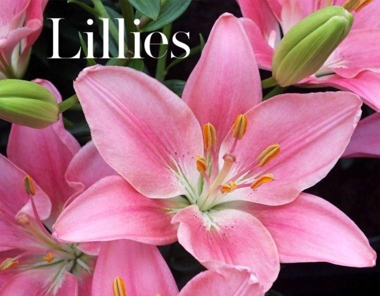Lillies (1)