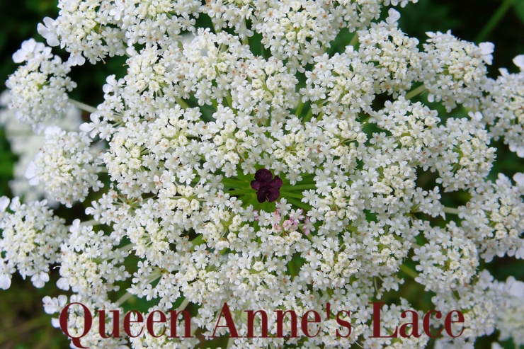 Queen Anne's Lace (1)