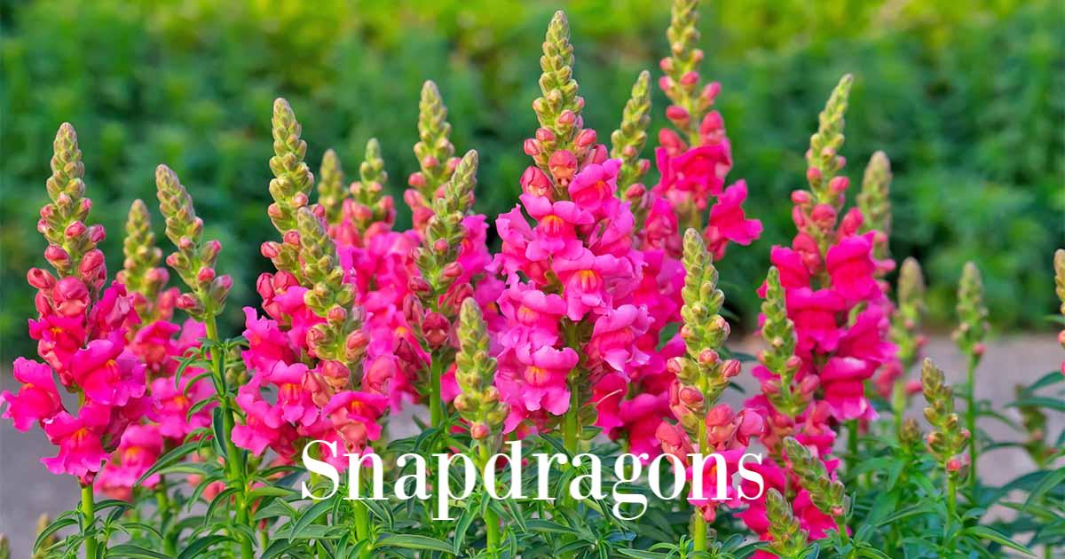 Snapdragons